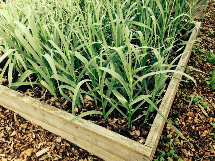 Garlic in a garden bed