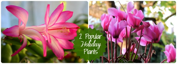 2 popular holiday plants: Cyclamens and Christmas Cactus