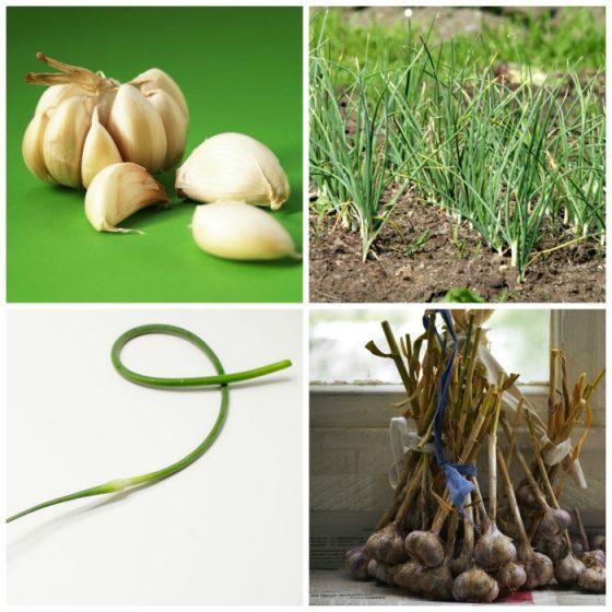 Planting growing and harvesting garlic tips