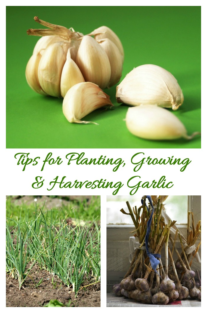 This tips for planting garlic will make sure that your crop is the best one next year. See also how to grow it and harvest garlic.