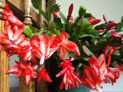 christmas cactus seasonal plants