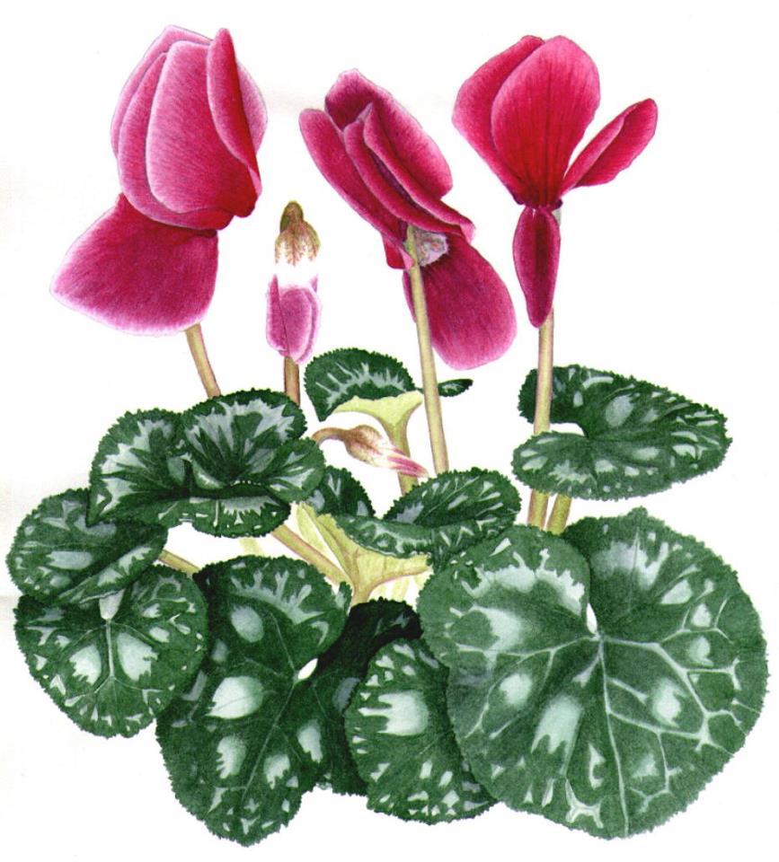 cyclamen seasonal plants