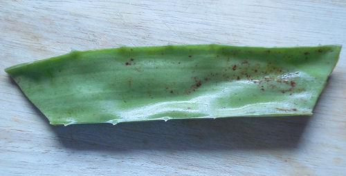 Aloe Vera stem