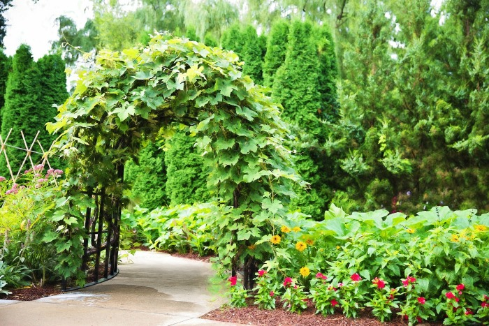 Natural wooden arbor with vines growing on it