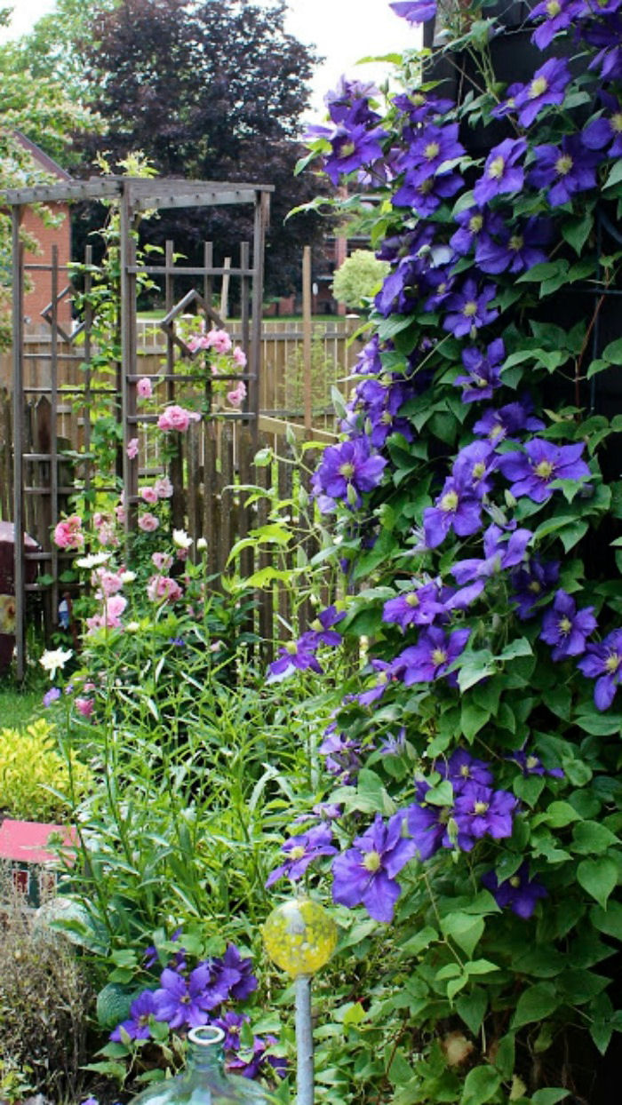 Wooden Arbor with Clematis, climbing rose and shasta daisy