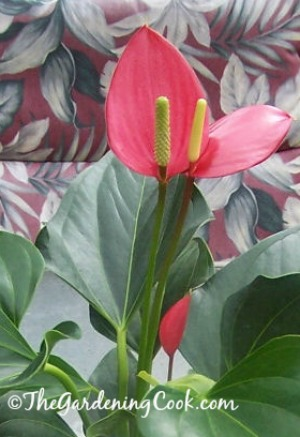 Anthurium - Flamingo flower