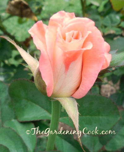 Coral colored rose