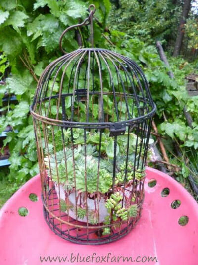 Bird cage planter with succulents