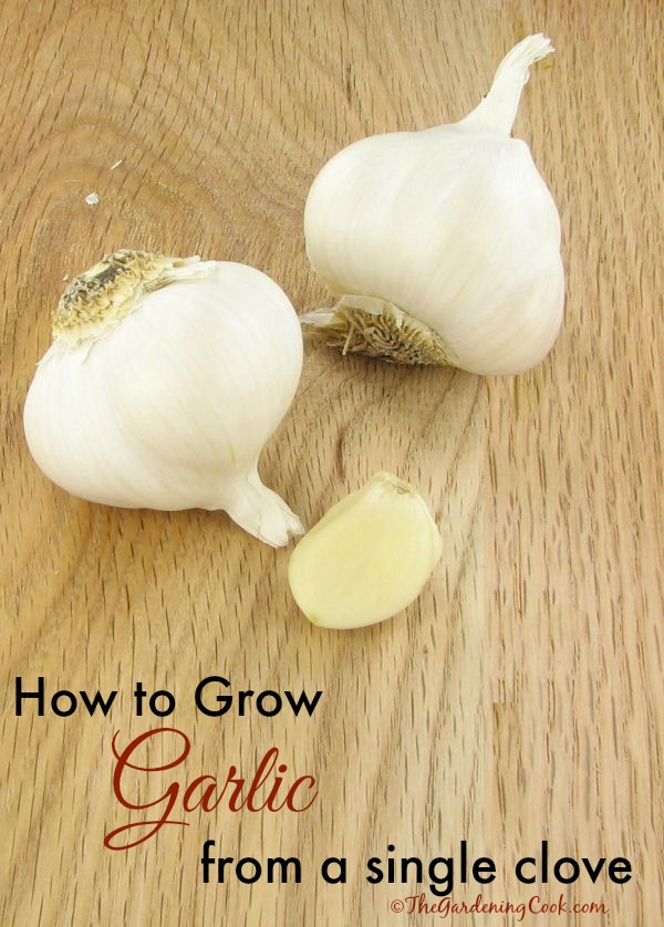 How to grow garlic from a single clove