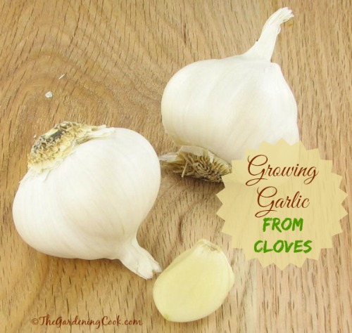 How to grow garlic from single cloves