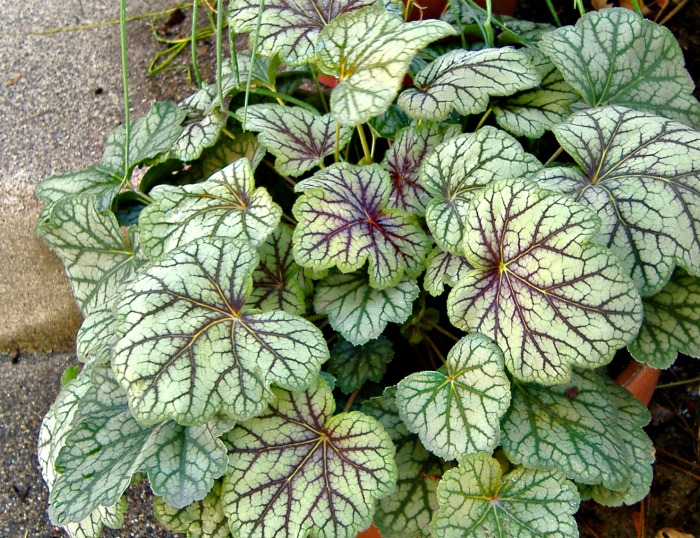 Heuchera green spice has variegated foliage