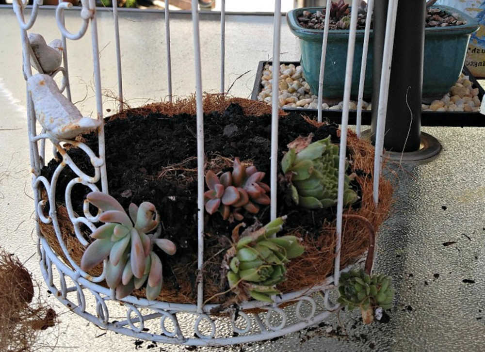 Planting a bird cage with succulents.