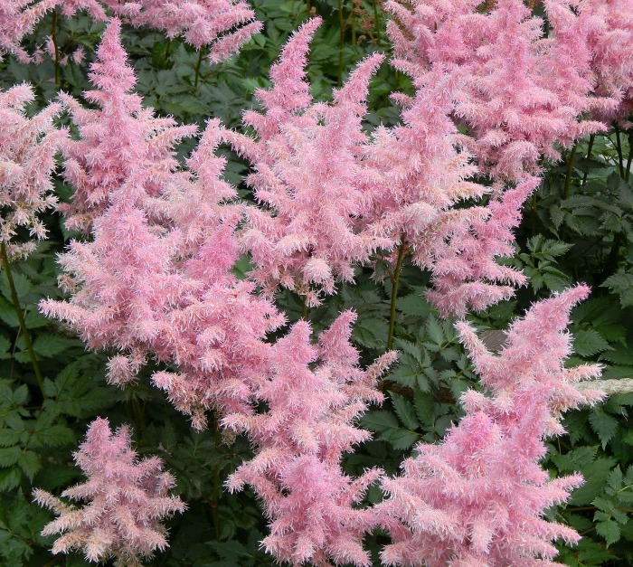 Pink Astilbe -shade loving perennial