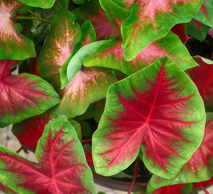 Colorful caladiums look great with hostas