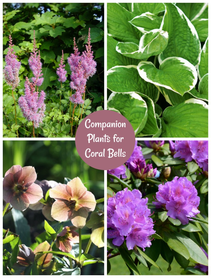 Companion Plants for Coral Bells