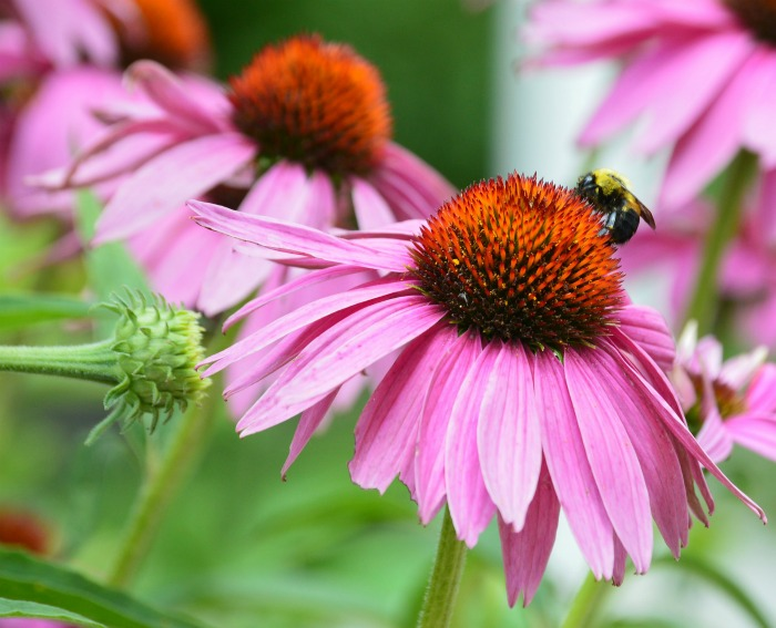 The bees love pink coneflower