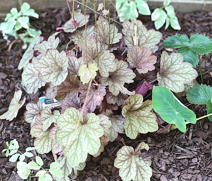 Carnival Watermelon coral bells is a good companion plant for hosta