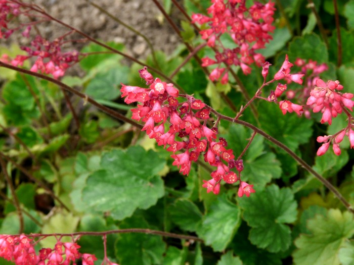 Heuchera - coral bells makes a great shade garden plant