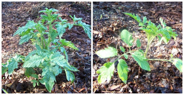 Determinate vs Indeterminate tomato plants
