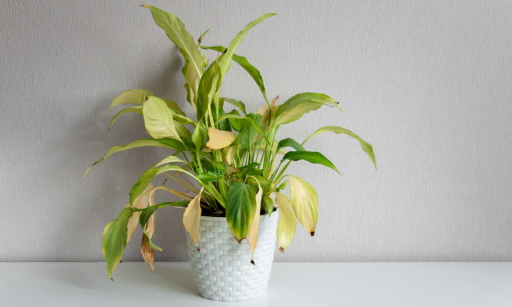 Plant in a white pot with yellowing leaves.