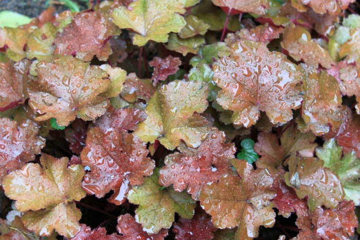 Water on heuchera leaves