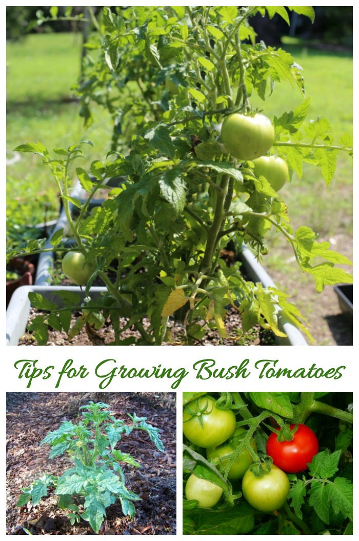 Tips for growing bush tomatoes