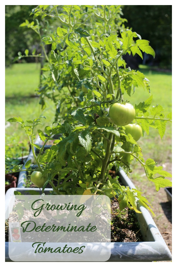 Tips for growing determinate tomatoes
