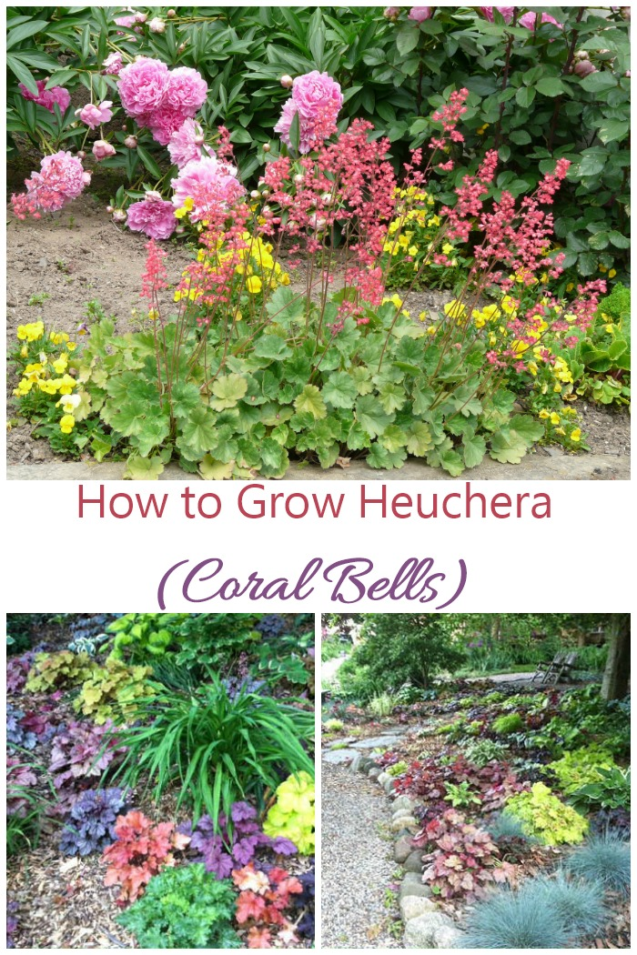 If you are looking for a flowering shade garden plant, try growing hechera. It is an easy care perennial that grows well with hostas and ferns.