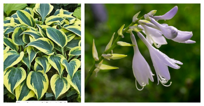 Leaves and flowers of Hosta Autumn Frost