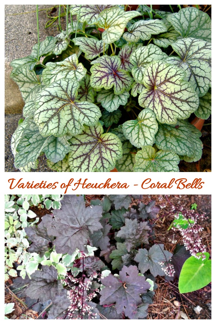 There are many heuchera varieties