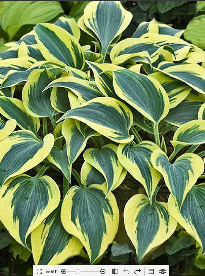 Autumn Frost Hosta is a hardy perennial that loves a shade garden