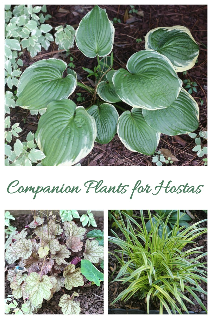 Companion plants for hostas