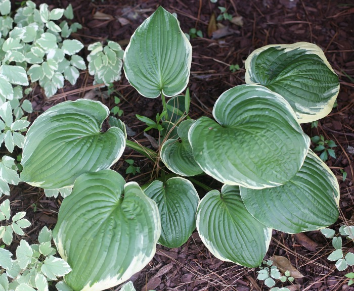 Hosta Francee has heart shaped leaves with white margins