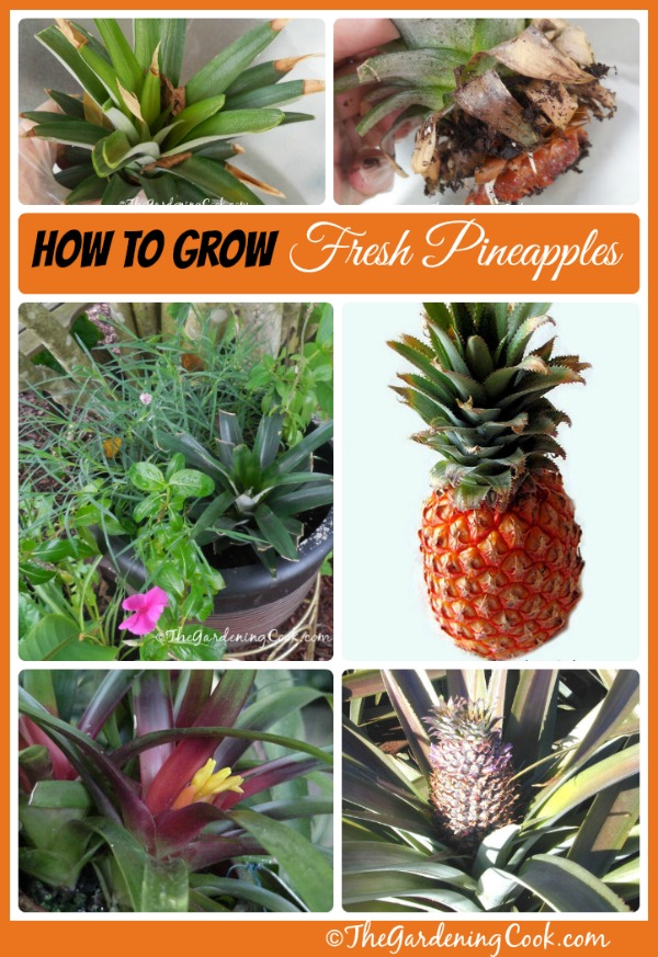 How to grow your own pineapples: thegardeningcook.com/growing-pineapples