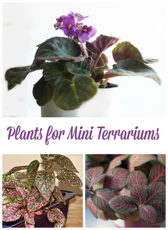 Plants for mini terrariums