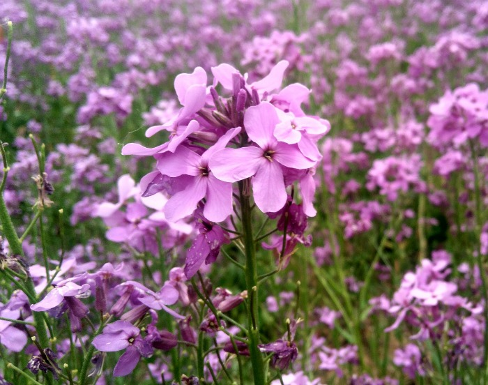 Moss verbena is a a pretty pink flowering perenniaal