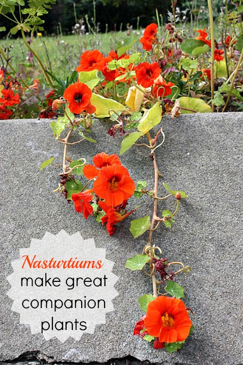 Nasturtiums make great companion plants
