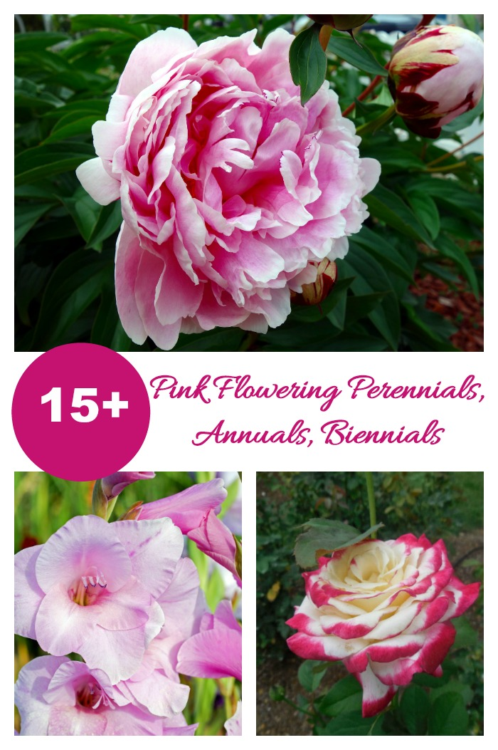 These perennials, biennials and annuals all have shades of pink flowers that will delight.
