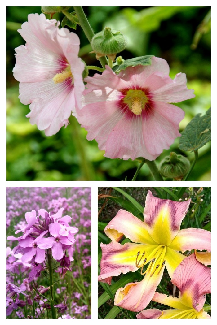 These pink flowers are stunners in a summer garden. Get some more ideas for pink flowers on The Gardening Cook