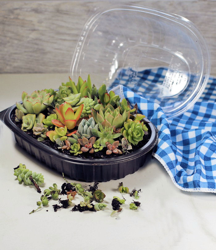 Succulent terrarium and a few mini succulent plants