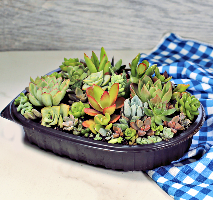 Succulent in a mini terrarium base
