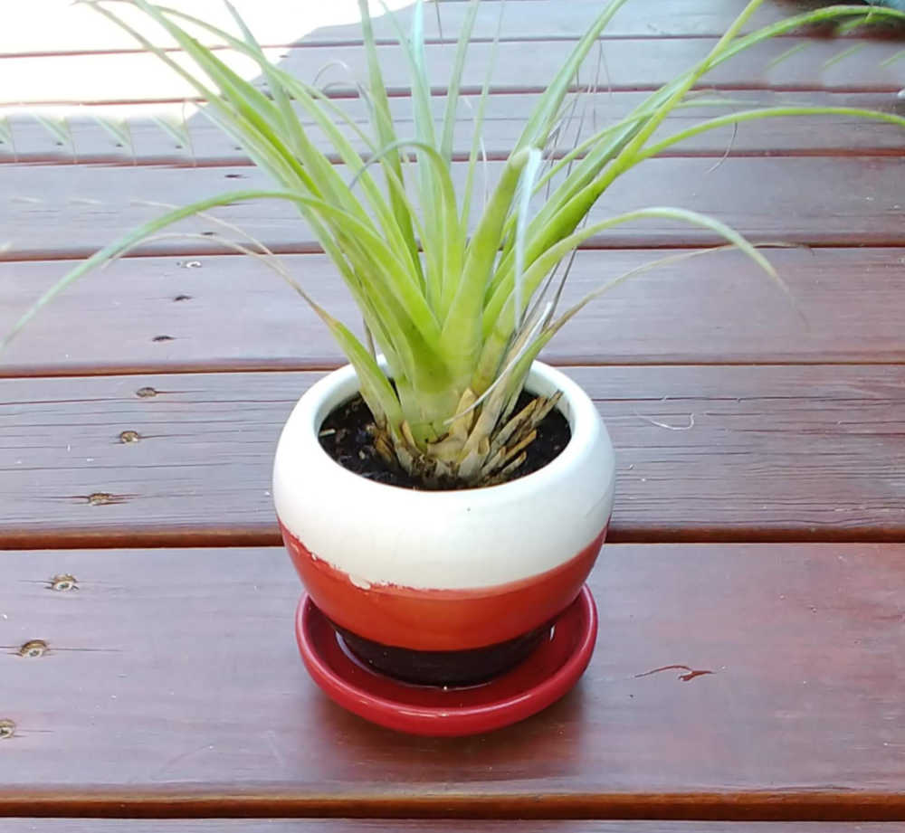Air plant in a striped pot with a saucer.