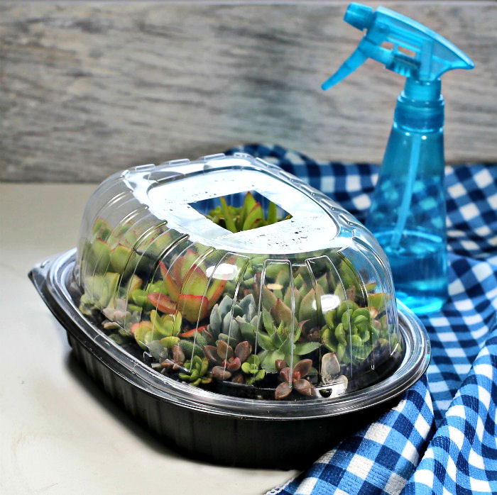 Rotisserie chicken container used as a mini terrarium