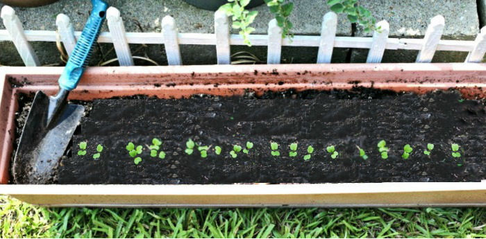 seedlings and trowel in a planter