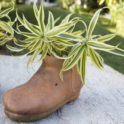 boot planter with dracaena
