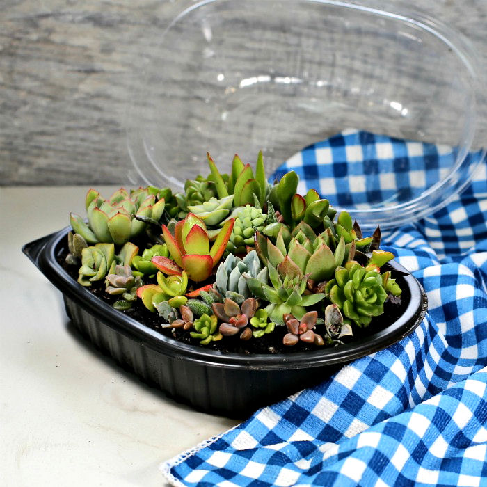 Rotisserie chicken mini terrarium with succulents