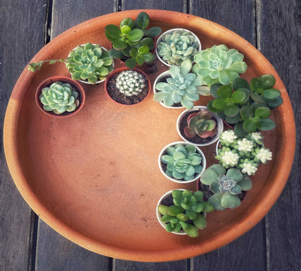 Large saucer displayed with succulent plants.