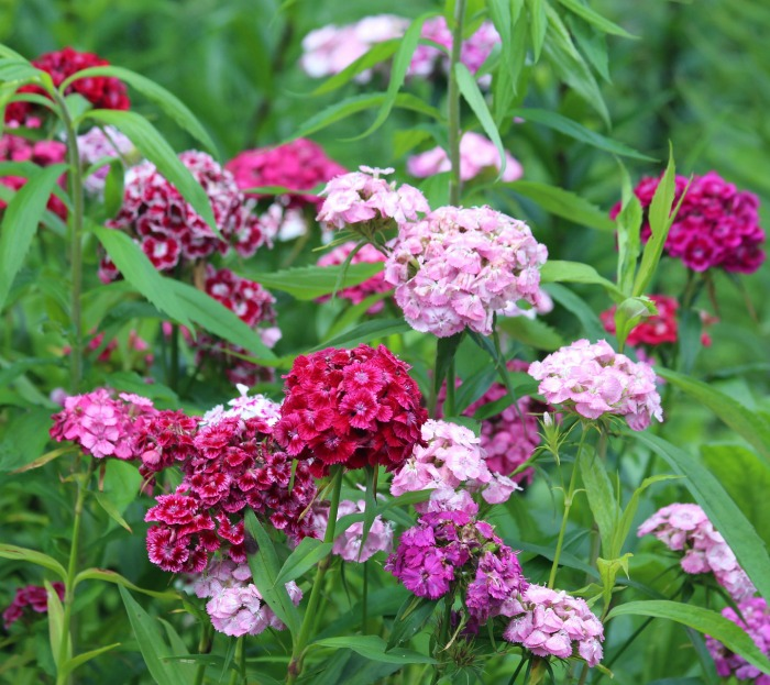 Sweet William comes in many shades of pink