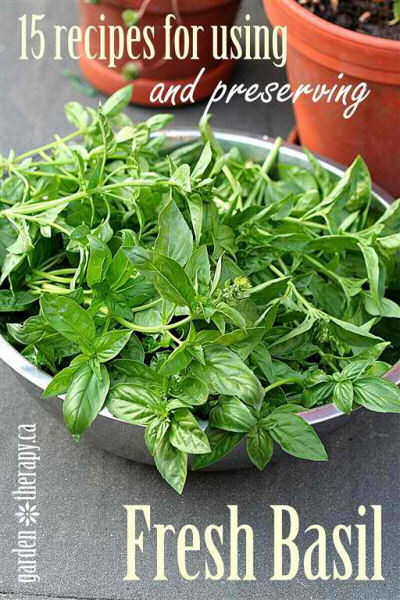 15 recipes for using and preserving fresh basil.