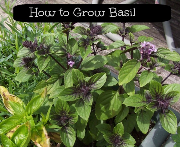 Learn how to grow Basil